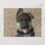 German Shepherd Puppy Postcard