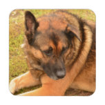 German Shepherd with One Floppy Ear Beverage Coaster