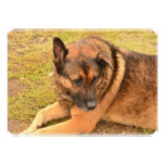 German Shepherd with One Floppy Ear Card