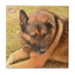 German Shepherd with One Floppy Ear Ceramic Tile