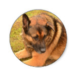 German Shepherd with One Floppy Ear Classic Round Sticker
