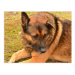 German Shepherd with One Floppy Ear Postcard