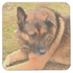 German Shepherd with One Floppy Ear Square Paper Coaster