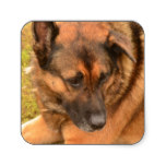 German Shepherd with One Floppy Ear Square Sticker