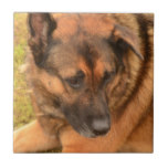 German Shepherd with One Floppy Ear Tile
