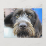 German Wire Haired Pointer Postcard
