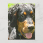 Gordon Setter Dog Postcard