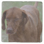 Great Vizsla Dog Stone Coaster