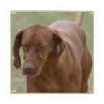 Great Vizsla Dog Wood Coaster