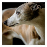 Greyhound Dog Poster