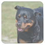 Guileless Rottweiler Square Paper Coaster
