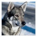 Husky in Snow Poster