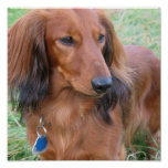 Long Hair Dachshund Print