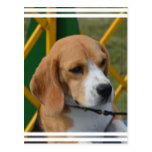 Lovable Beagle Postcard