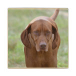 Lovable Vizsla Wooden Coaster