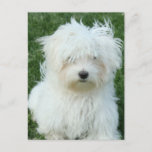 Maltese Puppies Postcard
