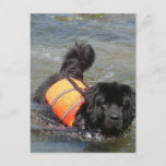 Newfie Water Rescue Postcard