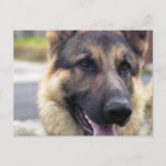 Picture of German Shepherd  Postcard