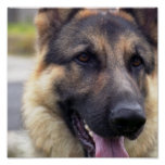 Picture of German Shepherd Poster