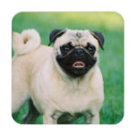 Poised Pug Beverage Coaster