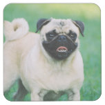 Poised Pug Square Paper Coaster