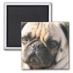Pug Dog Breed  Magnet