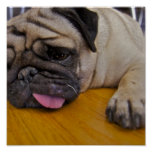 Pug One Too Many Poster Print