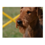 Really Cute Airedale Terrier Postcard