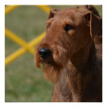 Really Cute Airedale Terrier Poster