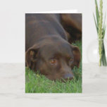 Resting Chocolate Lab Greeting Cards