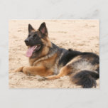 Resting German Shepherd Dog Postcard
