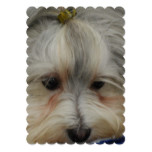 Resting Havanese Dog Invitation