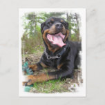 Rottweiler Photo Postcard