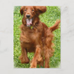 Running Irish Setter Postcard