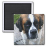 Saint Bernard Photo Square Magnet