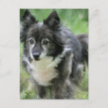 Sheltie Dog Picture Postcard