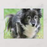 Sheltie Puppy Dog Postcard