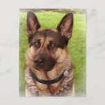 Shepherd Dog Postcard