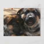 Shepherd Puppies Postcard