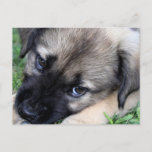 Shepherd Puppy Photo Postcard