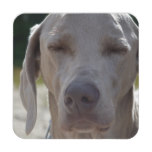 Sleepy Weimaraner Coaster