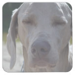 Sleepy Weimaraner Square Paper Coaster