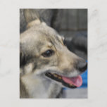 Swedish Vallhund  Postcard