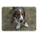 Sweet Basset Hound Card