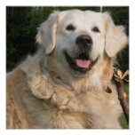 Sweet Golden Retriever Poster