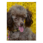 Sweet Tiny Brown Poodle Postcard