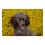 Sweet Tiny Brown Poodle Poster