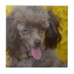 Sweet Tiny Brown Poodle Tile