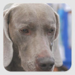 Sweet Weimaraner Dog Stickers