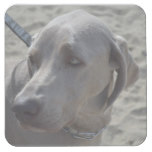 Sweet Weimaraner Square Paper Coaster